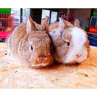 Карликовые кролики, фото 1