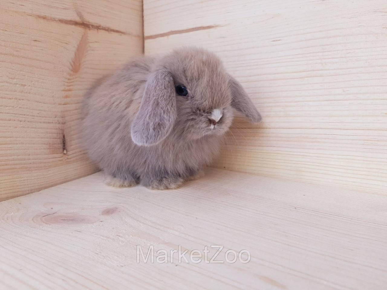 Карликовые вислоухие кролики
