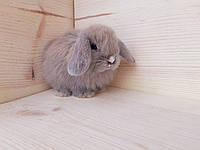 Карликовые вислоухие кролики, фото 1