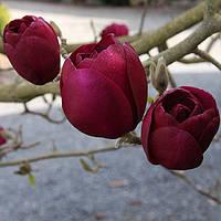 "Магнолия ""Black Tulip"" (возраст саженца 3 года)"