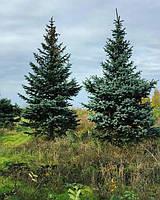 Хвойные деревья Крупномеры
