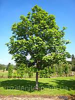 Лещина древовидная (Орех медвежий)/  Corylus colurna
