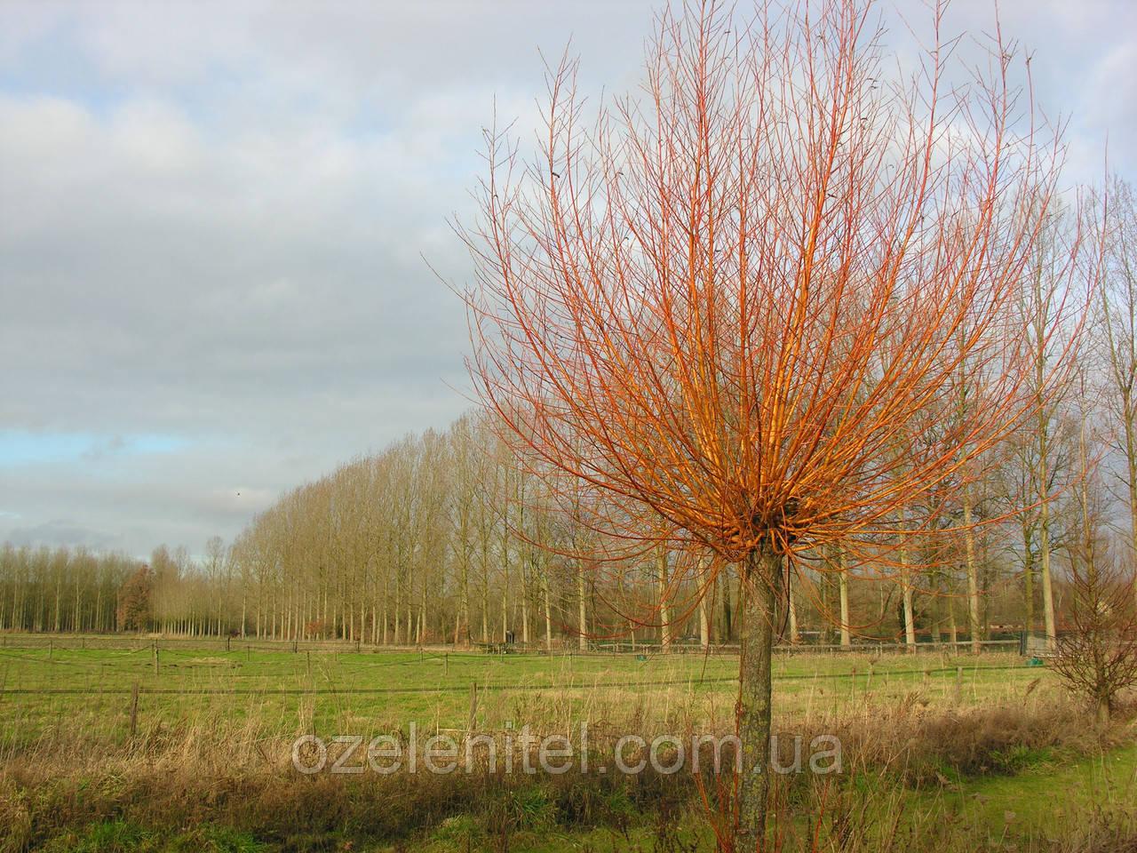 Ива красная/ Salix acutifolia   3,5-4,0 м