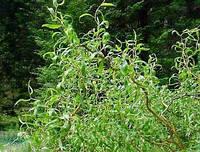 Ива вавилонская 'Tортуоза'/  Salix babylonica 'Tortuosa'    h 4,0-4,5 м, фото 1