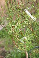 Ива Матсудана/ Salix matsudana  4,0-3,5 м