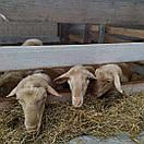 Сир бринза люта Закарпатська овеча 100г, фото 3
