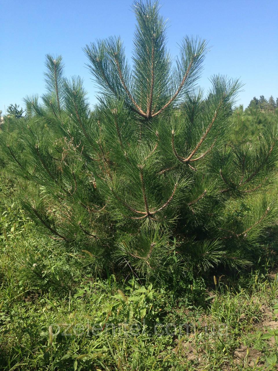 Сосна крымская/ Pinus рallasiana 3,51-4,0 м