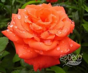 Саженцы Роза Angelica (Анжелика) (лучшая цена купить оптом и в розницу)