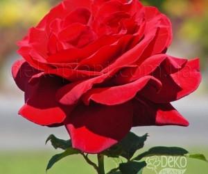 Саженцы Роза Royal Williams (Роял Вильямс) (лучшая цена купить оптом и в розницу)