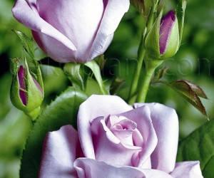 Саженцы Роза Blue Moon (Блю Мун) (лучшая цена купить оптом и в розницу)