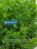 Белый клевер 1кг упаковка Пиполина Ривендел Юра Рома trifolium и др.сорта семена лилипут оптом для газона цена, фото 7