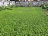 Белый клевер 1кг упаковка Пиполина Ривендел Юра Рома trifolium и др.сорта семена лилипут оптом для газона цена, фото 9