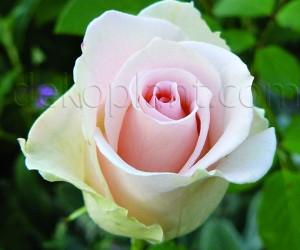 Саженцы Роза Vivaldi (Вивальди) (лучшая цена купить оптом и в розницу)