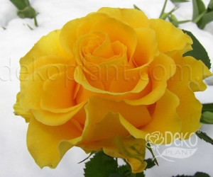 Саженцы Роза Sphinx Gold (Сфинкс Голд) (лучшая цена купить оптом и в розницу)