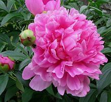 Пион травянистый розовый махровый (деленка 2 почки).