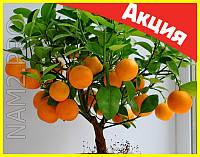 Комнатные плодовые мини-деревья, лимон, апельсин, киви, вишня