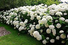 Садова гортензія: як виростити чарівну красуню?