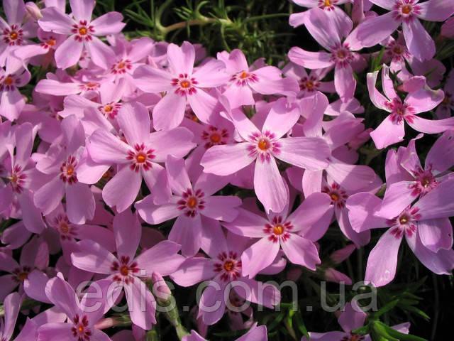 Флокс шиловидний (почвопокровный) рожевий. Сорт Марджорі