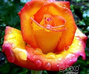 Саженцы Роза Red Gold (Ред Голд) (лучшая цена купить оптом и в розницу)