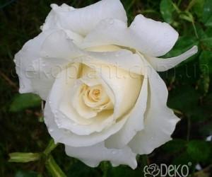 Саженцы Роза White Symphony (Уайт Симфония) (лучшая цена купить оптом и в розницу)
