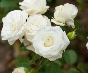 Саженцы Роза Solo White (Соло Уайт) (лучшая цена купить оптом и в розницу)