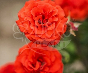 Саженцы Роза Solo Orange (Соло Оранж) (лучшая цена купить оптом и в розницу)
