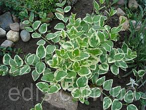 Барвінок великий ряболисті (Vinca major var.), фото 2