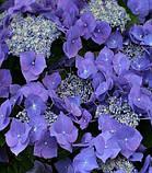 Гортензия крупнолистная Frisbee Purple (Фрисби Пурпле) 3год, фото 2