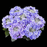 Гортензия крупнолистная Frisbee Purple (Фрисби Пурпле) 3год, фото 3
