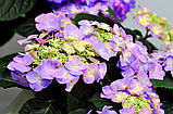 Гортензия крупнолистная Frisbee Purple (Фрисби Пурпле) 3год, фото 4
