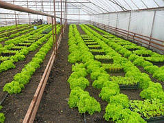 Нюансы выращивания салата в теплице