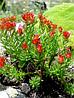 Красная щётка(корень) 100 грамм