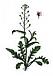 Пастушья сумка(трава), фото 3