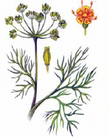Укроп пахучий(семена)