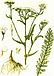Тысячелистник (трава), фото 3