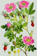 Шиповник(плоды)