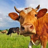 Пивная дробина для откорма бычков, фото 3