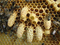 Пчелиное маточное молочко в маточниках