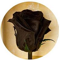 Чёрная роза Пантера