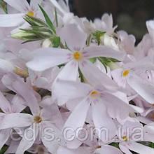 Флокс шиловидный Pinck Pearl (Пинк Перл) светло-розовый