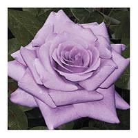 Роза чайно-гибридная Шарль де Голь
