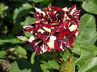 Роза чайно-гибридная Фокус-покус