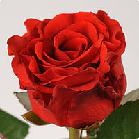 Роза чайно-гибридная Эль Торо