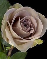 Роза чайно-гибридна Амнезия