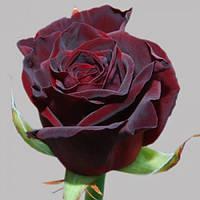 Роза чайно-гибридна Блэк Баккара