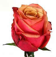 Роза чайно-гибридна Черри бренди, фото 1