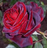Роза чайно-гибридная Блек Меджик