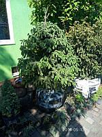 Ели в коме, в грунте конусовидные, шаровидные сизые  от 1,5 метра см до 4,4 метра