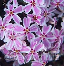 Флокс шиловидный Кимоно розовый с белой каймой