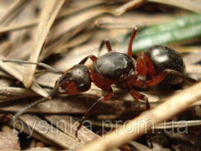 Муравьи Formica polyctena (малый лесной муравей)